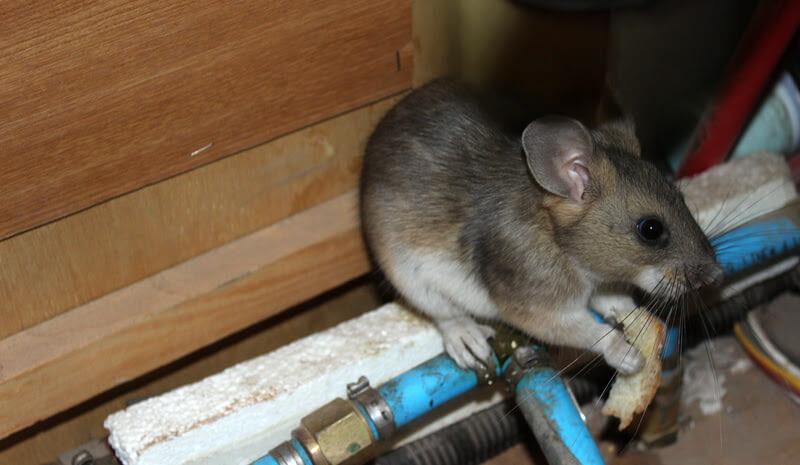 Rat Eating Bread